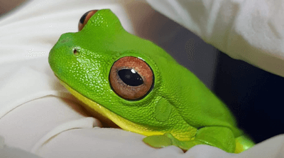 Basil the Red-eyed tree frog