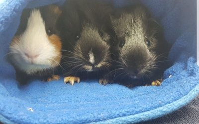 Cutest Guinea Pigs!